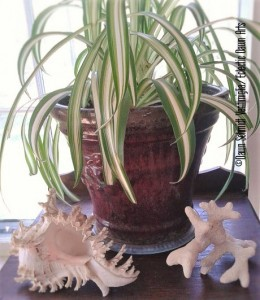 Spider Plant and Shells